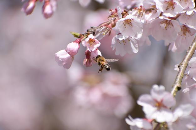 ミツバチ 1