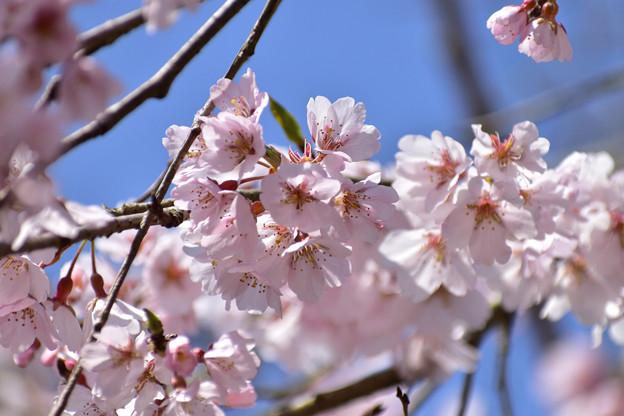 南明寺の糸桜 6