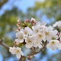 写真: 桜 6