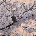 Photos: 桜の中のヒヨドリ