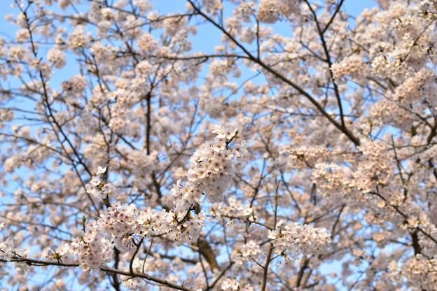 竜王山公園の桜 11