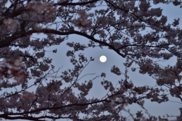 桜と月 1