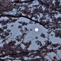 Photos: 桜と月 1