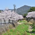 Photos: 月見川の桜 1