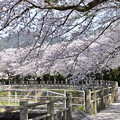 Photos: 月見川の桜 3
