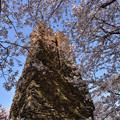 萩反射炉の桜 4