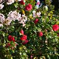 写真: 椿と桜