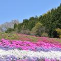 写真: 大道理の芝桜 1