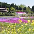 写真: 大道理の芝桜 4