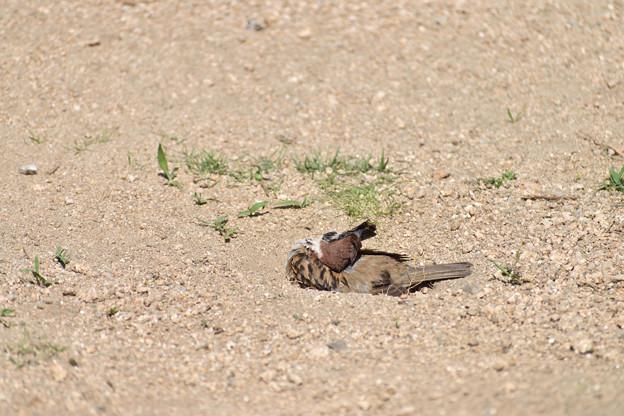 雀の砂浴び 1