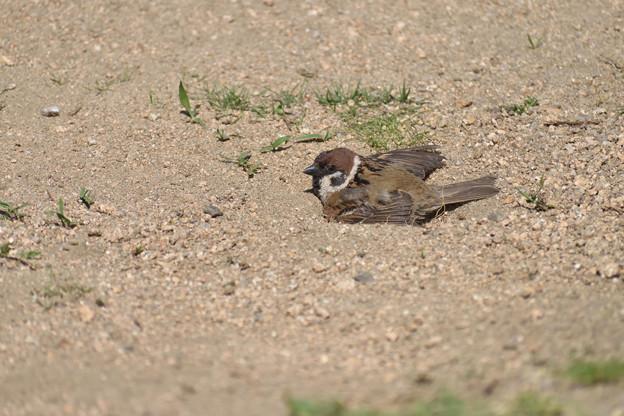 雀の砂浴び 2