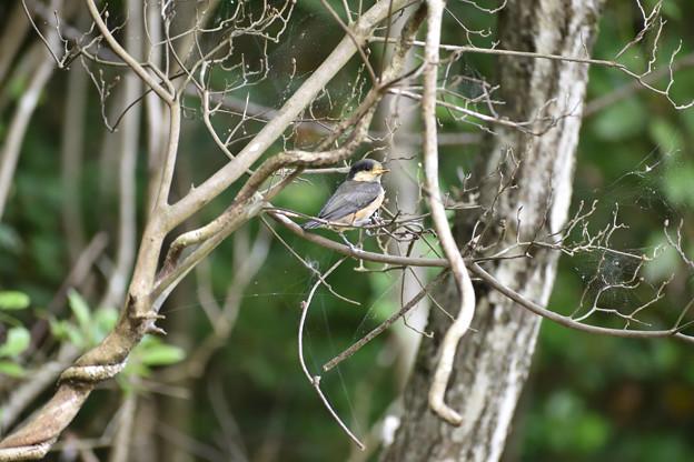 ヤマガラの幼鳥 2