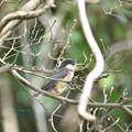 ヤマガラの幼鳥 3