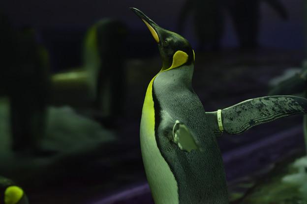 オウサマペンギン