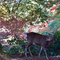 写真: 鹿に紅葉