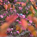 桜葉越しの山茶花