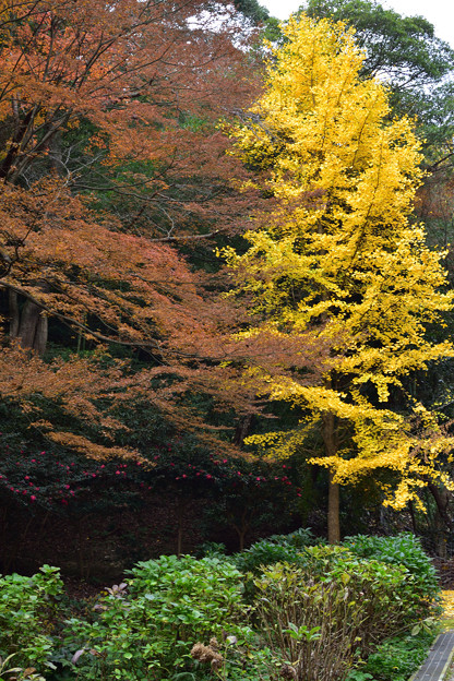 紅葉と公孫樹
