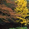 写真: 紅葉と公孫樹