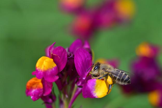 リナリアに蜂