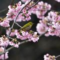 大寒桜にメジロ 1