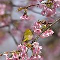 大寒桜にメジロ 2