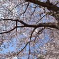徴古館の桜