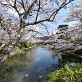 Photos: 堀と桜