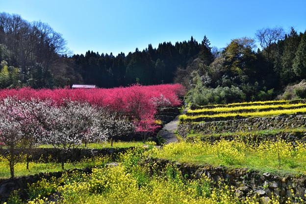Photos: 花桃祭り