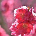Photos: 花桃 1