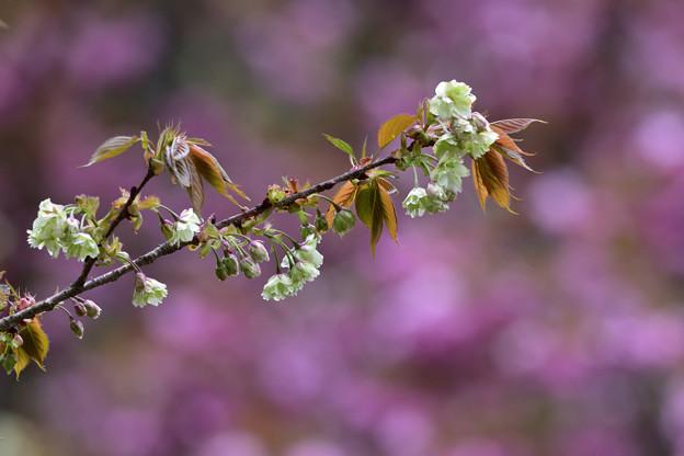 八重桜を背に