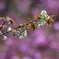 Photos: 八重桜を背に