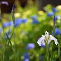 Photos: 白い菖蒲