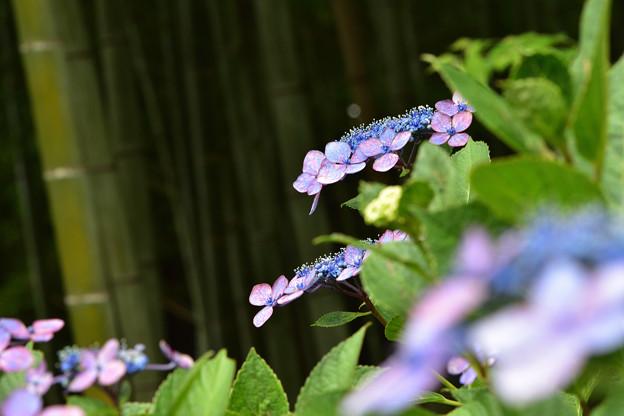竹林前の紫陽花