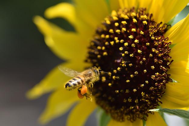 蜜蜂と向日葵