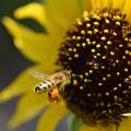 Photos: 蜜蜂と向日葵