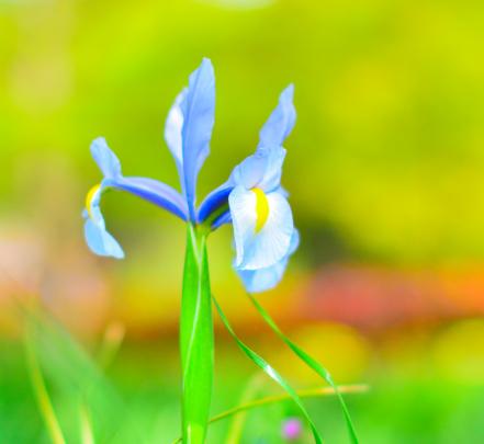 写真: 公園の花  ダッチアイリス2