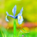 公園の花  ダッチアイリス2