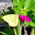 写真: 黄チョウ