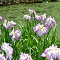 写真: 白鷺菖蒲園2