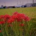 写真: 稲穂と彼岸花