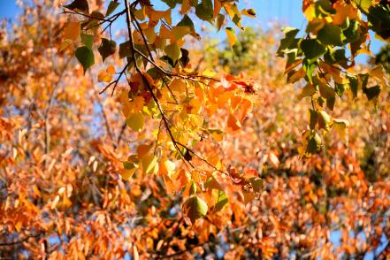 公園の紅葉 南京ハゼ黄葉