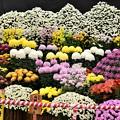 国華園菊花大会