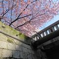一条戻橋の河津桜2