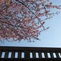 一条戻橋の河津桜4
