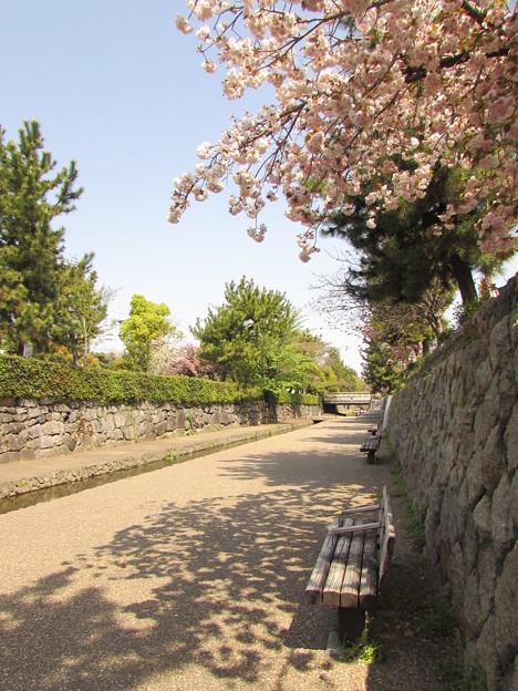 堀川の桜2