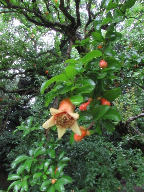 葵の庭・何の花?2