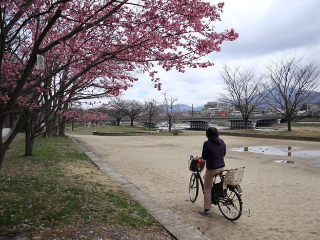 鴨川・おかめ桜1