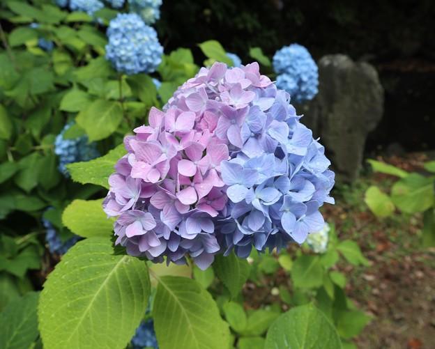 雨上がりの紫陽花3