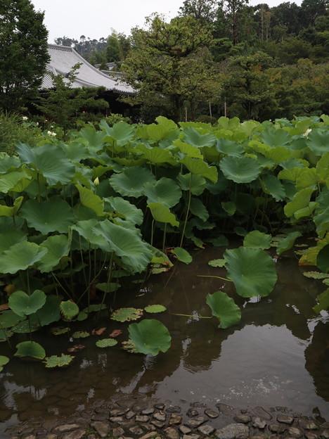 法金剛院・蓮の池1
