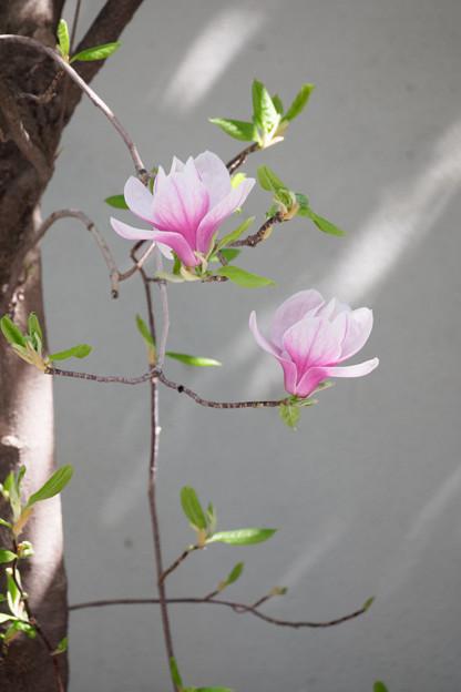 優しく咲く